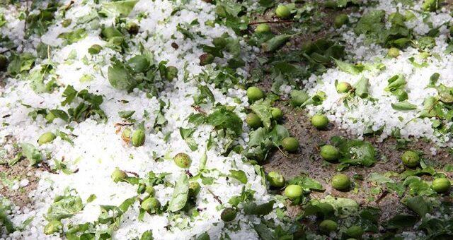 Ущерб в десятки миллионов долларов: град и заморозки уничтожил урожай фруктов швейцарских фермеров